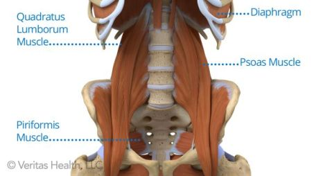 Adult_Psoas_Muscle_anatomy_overview